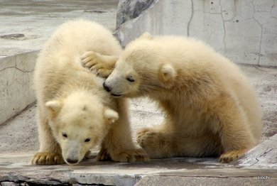 Polar_bear1