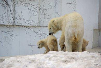Polar_bear3