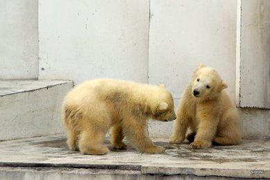 Polar_bear4