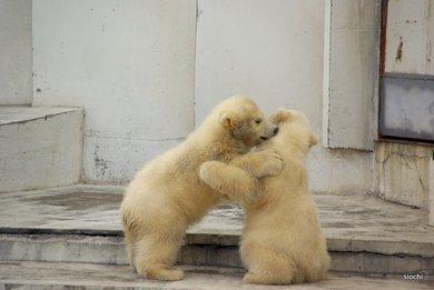 Polar_bear5