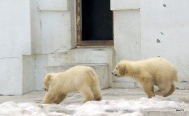 Polar_bear6