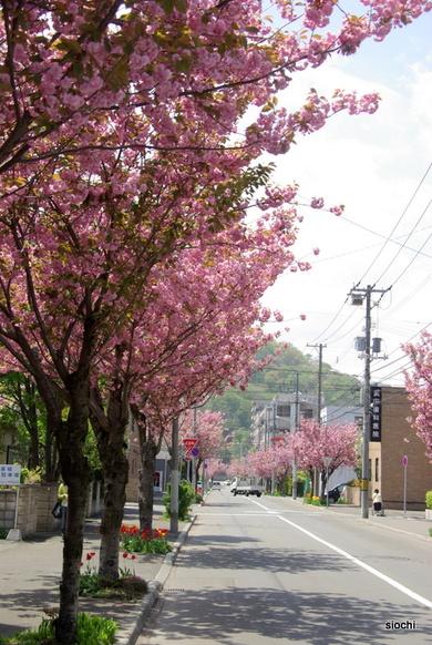 Sakura1